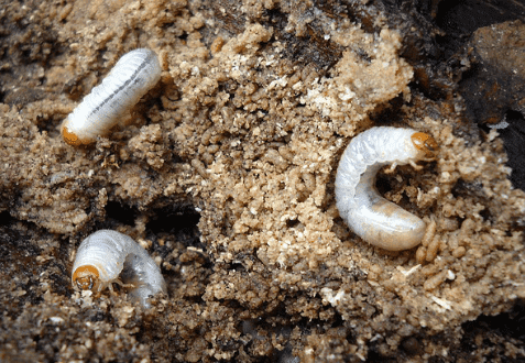 Grub In The Soil
